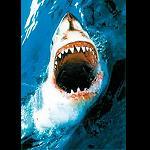 Great white shark, open,  61x86