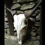 orig Stier Schädel, skull, präpariert 45cm