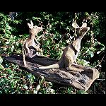 Känguru 2er Gruppe auf Treibholz