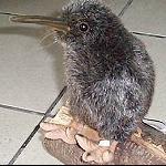Kiwi Stofftier top Qualität 30 cm wie echt
