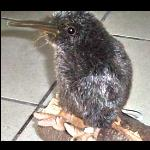 Kiwi Stofftier  wie echt aussehend 21 cm