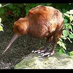 Kiwi Figur mit Fell    echt ?   30 cm lang