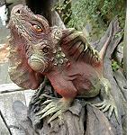 Leguan bemalt  auf Treibholz 65 cm