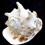 Seemuschel BlasHorn Muschelhorn XL