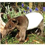 Stofftier Tapir  36 cm