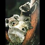 Poster Koala 30x44 cm