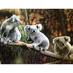 Poster  3  Koala 30x40cm