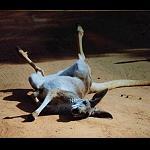 Känguru Bild Foto Poster 45x30cm
