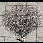 Fächer Koralle Meerpflanze zur Dekoration