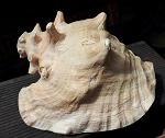 Seemuschel BlasHorn Muschelhorn 20cm