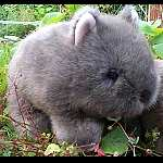 Wombat Harry 23 cm Plumpbeutler