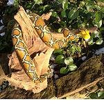 Schlange modelliert auf Treibholz 50 cm
