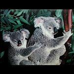 Poster Koala 40x50 cm 2.Wahl