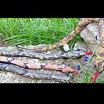 Sandtiere Schlange 45 cm