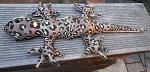 Sandtier Echse Gecko ca. 30 cm