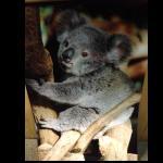 Koala Bild Foto Poster 45x30cm