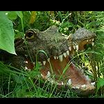Krokodil Kopf für den Gartenteich 39cm