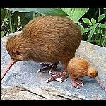 Kiwi Miniatur Figur Neuseeland 10cm