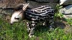 Stofftier Tapir Baby 30cm